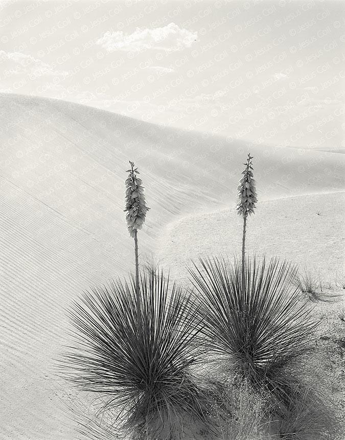 Yucas, White Sands, New Mexico, USA de Jesus Coll